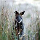 Swamp Wallaby - Australia  by Mette  Spange