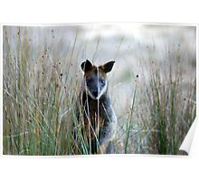 Swamp Wallaby - Australia  Poster