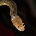 Venemous Snakes of Australia by Steve Bullock