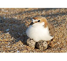 Red-Capped Plover - Australia Photographic Print