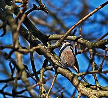 Long Tailed Tit by Daveart