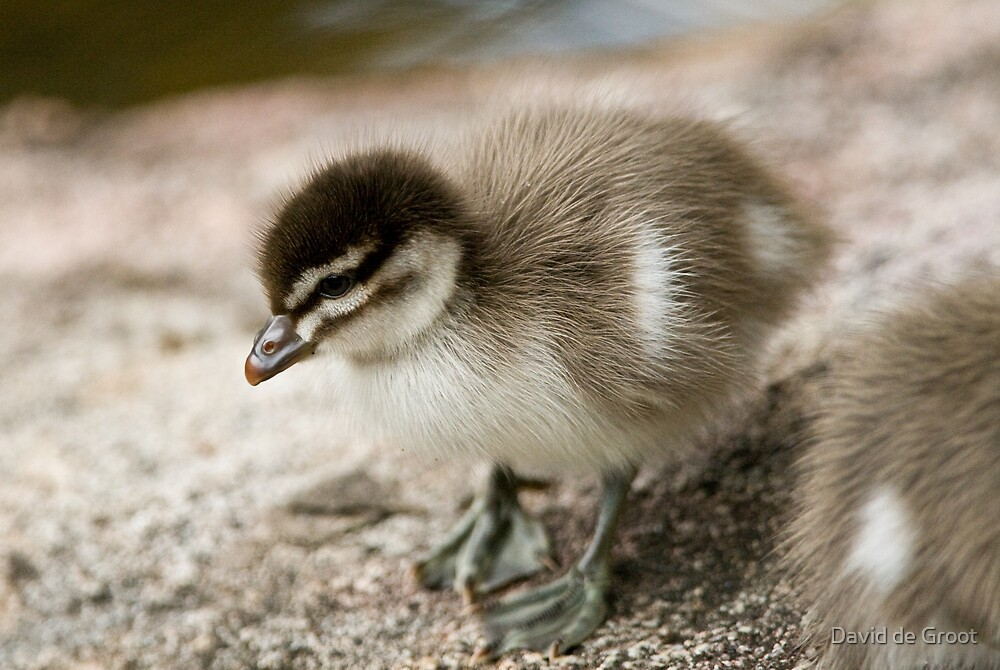 Australian Wood Duck Duckling by David de Groot