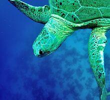 green sea turtle (Chelonia mydas)  by bashta