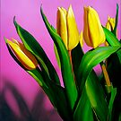 Tulips by Matthew  Bates
