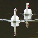 White Swans On Black Water - York's River Foss by AARDVARK