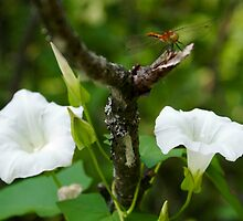 morning glory with Dragonfly by Jena Ferguson
