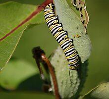 Monarch Caterpillar by Anne Smyth