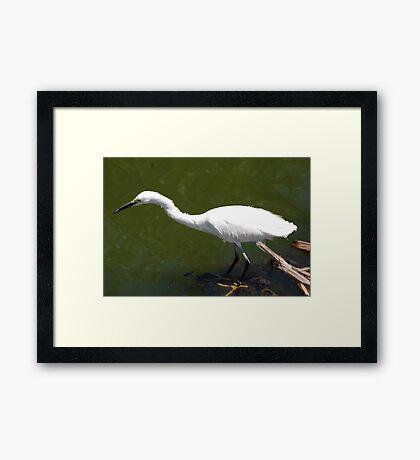Egret Fishing Framed Print
