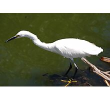 Egret Fishing Photographic Print