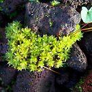 Moss Stars by lareejc
