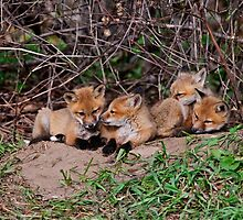 Red Fox Kits by Fox-Images
