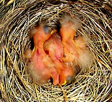 Newborn Robins by buddykfa