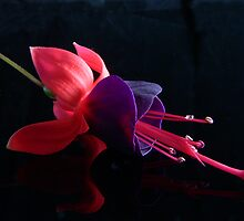 Fuchsia VI by Tom Newman