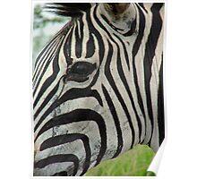 Zululand Zebra Poster
