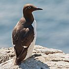 Bridled Guillemot by Alan Forder