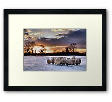 Cold Hungry Sheep Framed Print