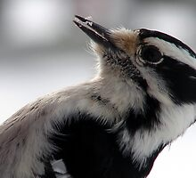 Downy Woodpecker by angelandspot