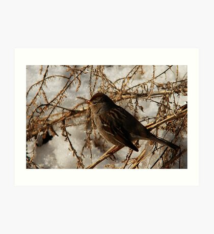 White-Crowned Sparrow - Winter Art Print