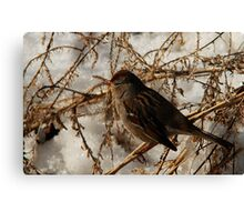 White-Crowned Sparrow - Winter Canvas Print