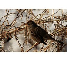 White-Crowned Sparrow - Winter Photographic Print