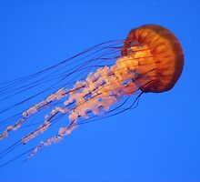 Pacific Sea Nettle by Mary Kaderabek-Aleckson