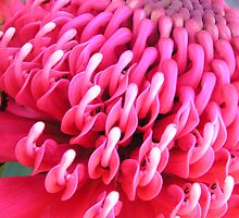 Waratah by Jennifer and Paul Cave