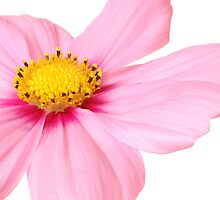 Pretty in Pink by Lorraine Deroon