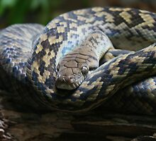Snake - Look Into My Eyes by Neil Grainger