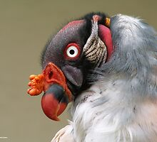 King Vulture by TrueBavarian
