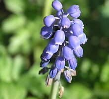 Grape Hyacinth by Ratfingers