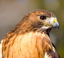 Falcon at rest by Jason Anderson