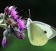 Butterfly by TrueBavarian