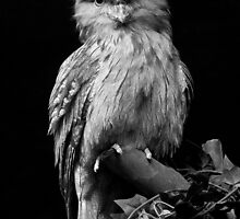 Frogmouth by Daniel Attema