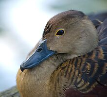 Black Duck by palmerphoto