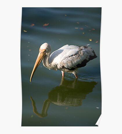 Bird walking through water Poster