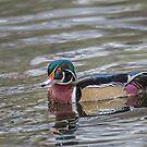 male wood duck by AlRobinson