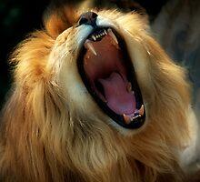 Lion by tintinian
