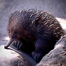 Echidna by Lass With a Camera