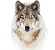 Portrait of a Wolf - Timber Wolf by Jim Cumming