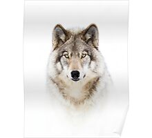 Portrait of a Wolf - Timber Wolf Poster