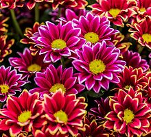 Asteraceae Vibrant Red and Pink Emotion by Alec Owen-Evans