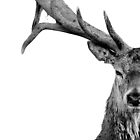 Red Deer - Head On - On White by George Wheelhouse