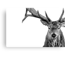 Red Deer - Head On - On White Canvas Print