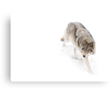 Circling - Timber Wolf Canvas Print
