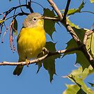 migrating Nashville warbler by AlRobinson