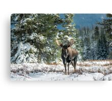 Canadian Western Bull Moose Canvas Print