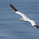 Gannet - Low Over Sea by George Wheelhouse
