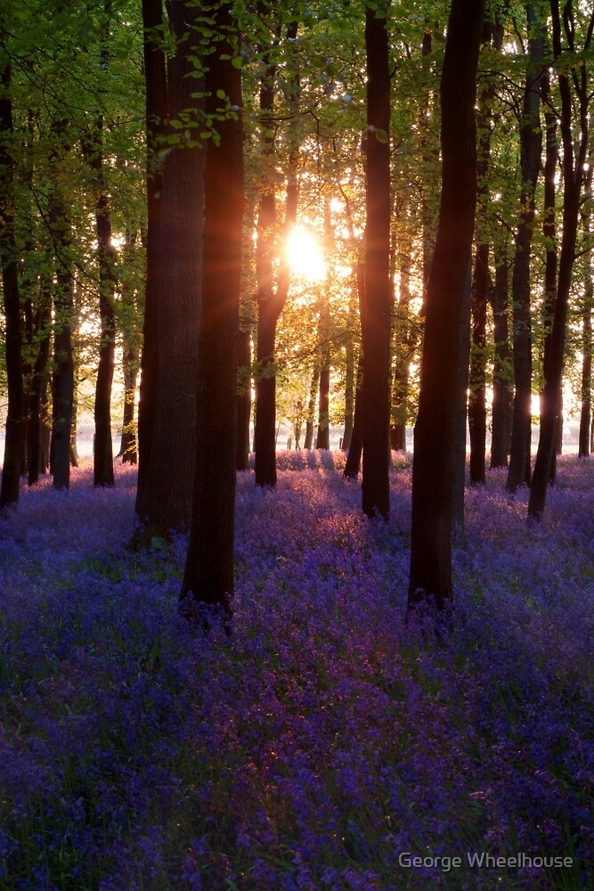 Bluebell Wood At Sunset (Portrait) by George Wheelhouse