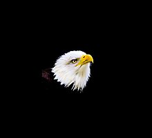 Bald Eagle by Dave  Knowles