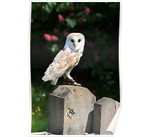 Barn owl on a fence post Poster